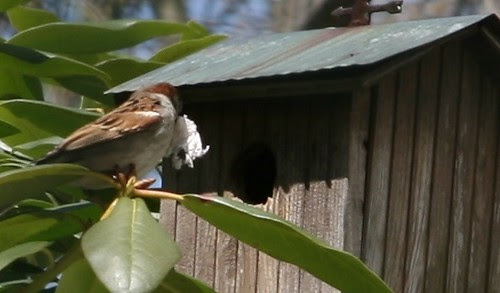 sparrow at house