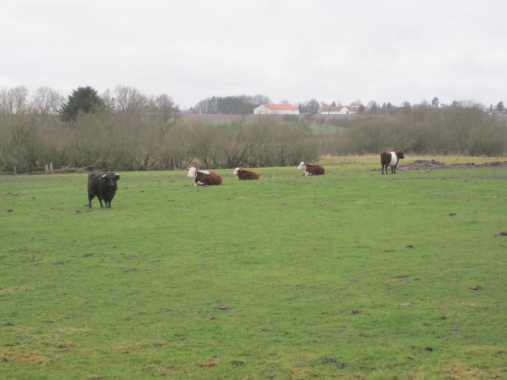 Cattle in Brordrup