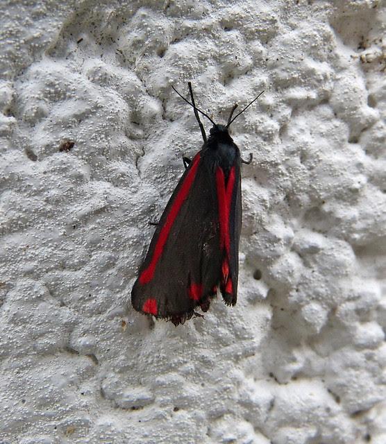 27489 - Cinnabar Moth, Garden