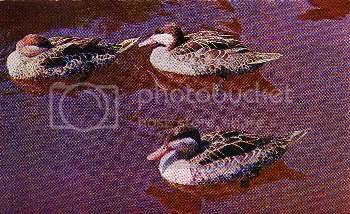Pg5-3, RED-BILL TEAL.