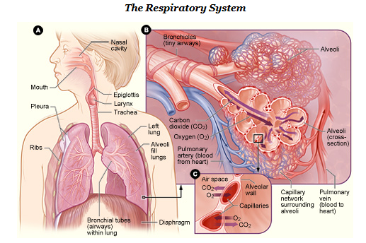 The Respiratory System Breathing Medical Terminology For Cancer