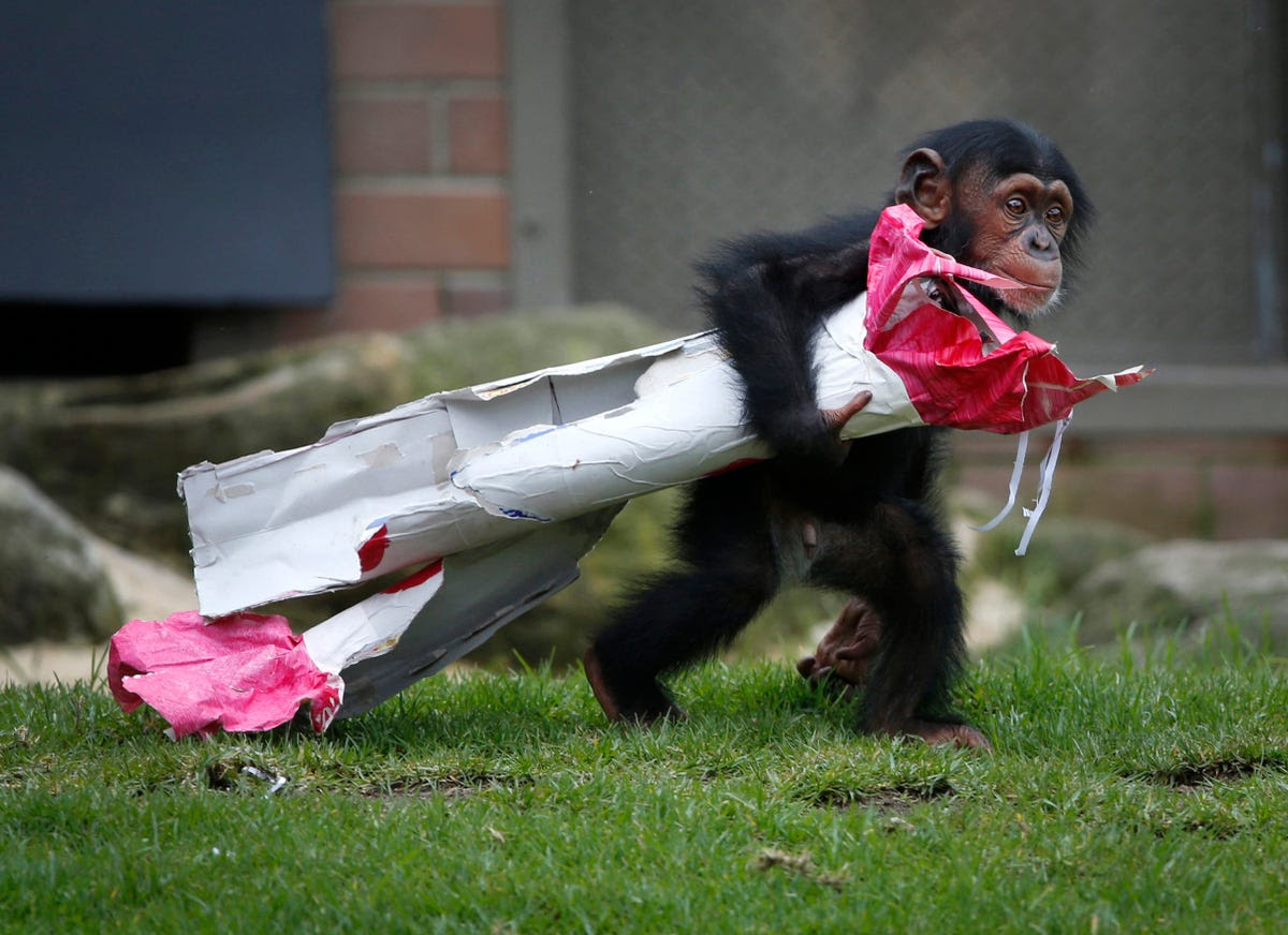 A 13-month-old chimp named Fumo carries a Christmas present of food treats in wrapping paper under his arm during a Christmas-themed feeding time at Sydney's Taronga Park Zoo on Dec. 9.