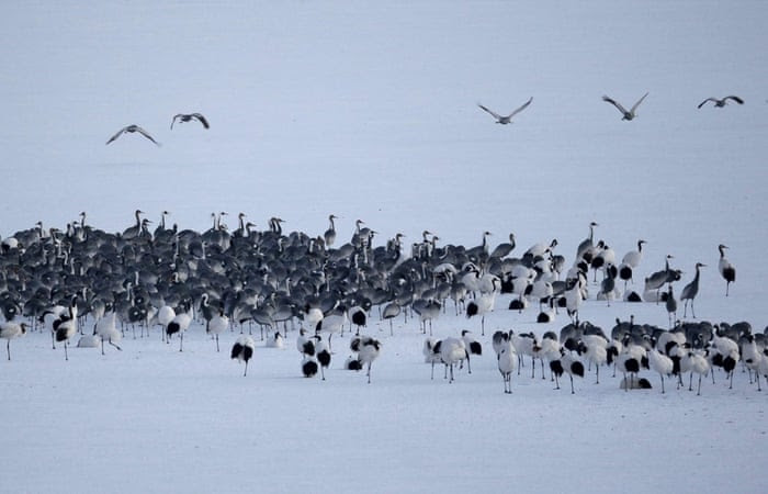 epa04549363 A group of White-naped Cranes in Cheorwon-gun county near the demilitarized zone (DMZ) in Gangwon province, South Korea, 07 January 2015. The Demilitarized Zone (DMZ) between North and South Korea has become a nearly untouched nature refuge.