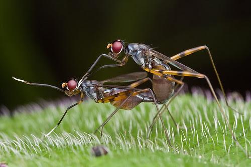 stilt legged flies mating IMG_3067 copy