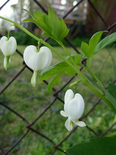 """white old-fashioned"" bleeding heart"