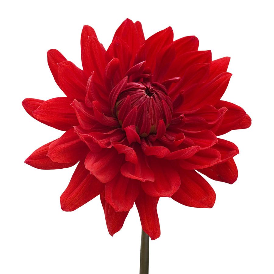 http://images.fineartamerica.com/images-medium-large-5/1-red-dahlia-flower-against-white-background-natalie-kinnear.jpg