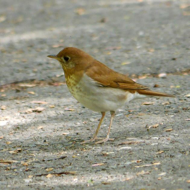 Ed Gaillard: birds &emdash; Veery, Central Park