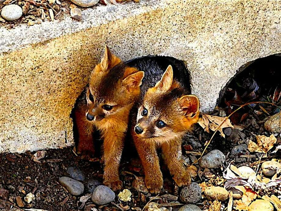 A pair of young gray foxes poke their heads out of their den, a culvert in a dry creek in the Tice Valley area of Walnut Creek. From the Bay Area and beyond, life of all kinds is emerging. Photo: Tom Stienstra, Brian Murphy / Special To The Chronicle