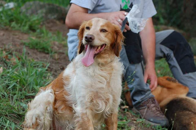 Charlie – 2 year old male Brittany Spaniel