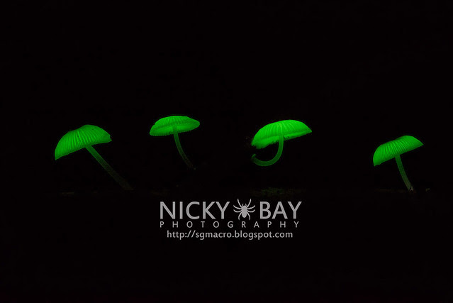 Bioluminescent Fungi (Mycena illuminans?) - DSC_7987
