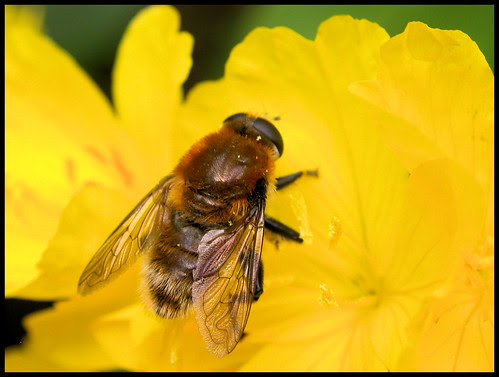 syrphid fly on Oenothera