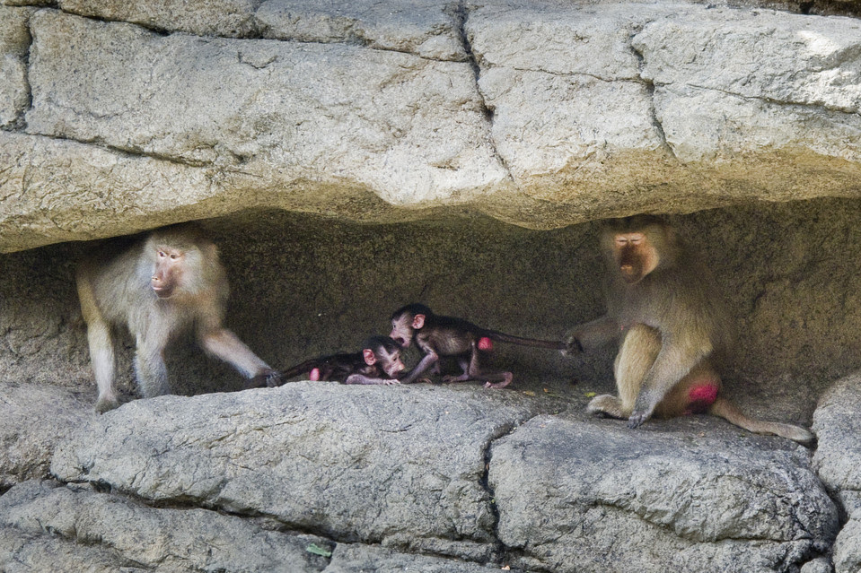 Baboons in New-York Zoo