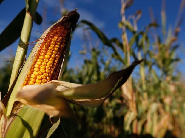Produção de milho da Índia de verão pode cair mais de 15% este ano, devido ao tempo seco (Foto: Reuters)