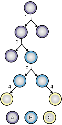 Diagram of stem cell division and differentiation.