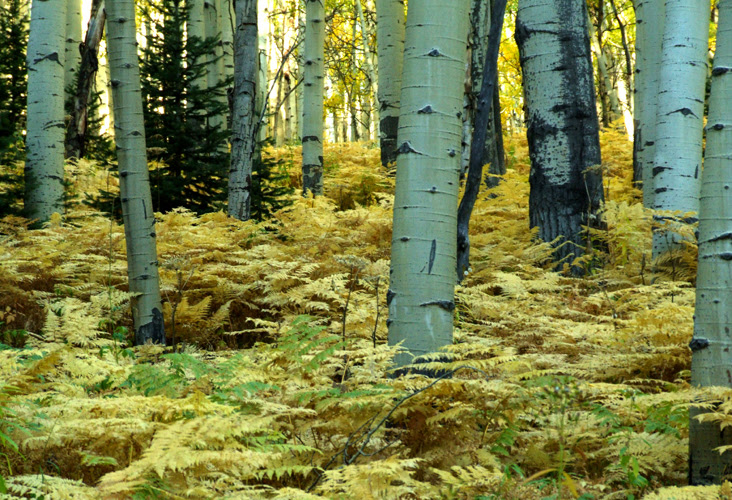 A carpet of golden fern caressing quakie boles, Anthracite Range, Colorado