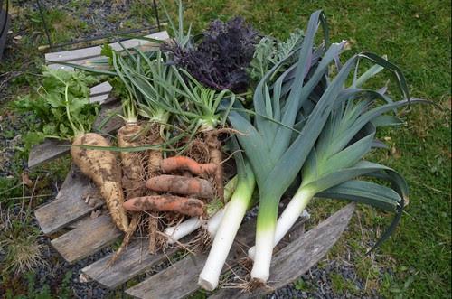 overwintered veg
