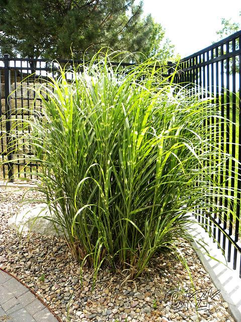 DSCN1943 Zebra Grass