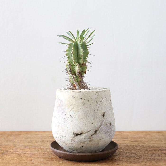 ユーフォルビア・笹蟹丸 / Euphorbia pulvinata