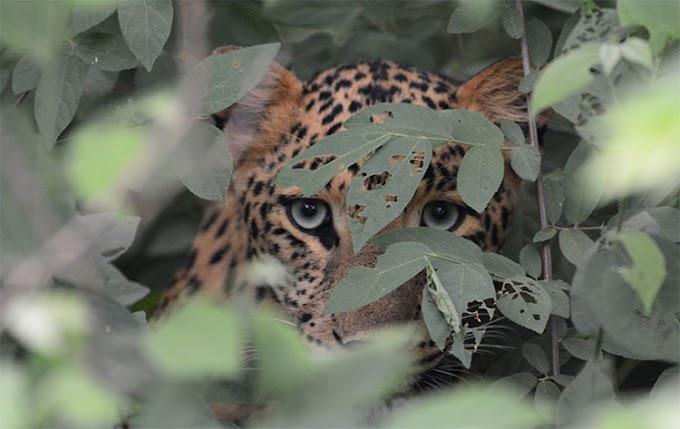 Un leopardo se hace viral por su camuflaje perfecto y muy pocos logran descubrirlo en la foto