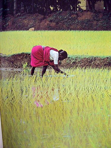 rizière.jpg