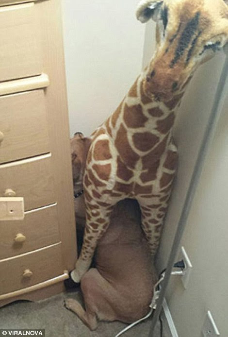 Not standing tall: One pet tries to blend in under the orange colours of a fluffy giraffe