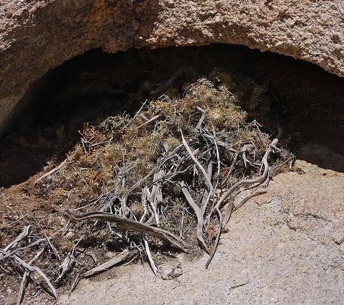 desert woodrat midden