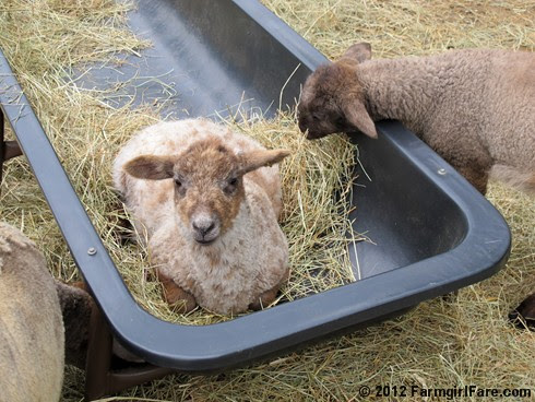 Random Lamb Snaps 14 - FarmgirlFare.com