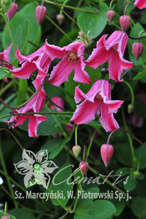 Clematis Etoile Rose