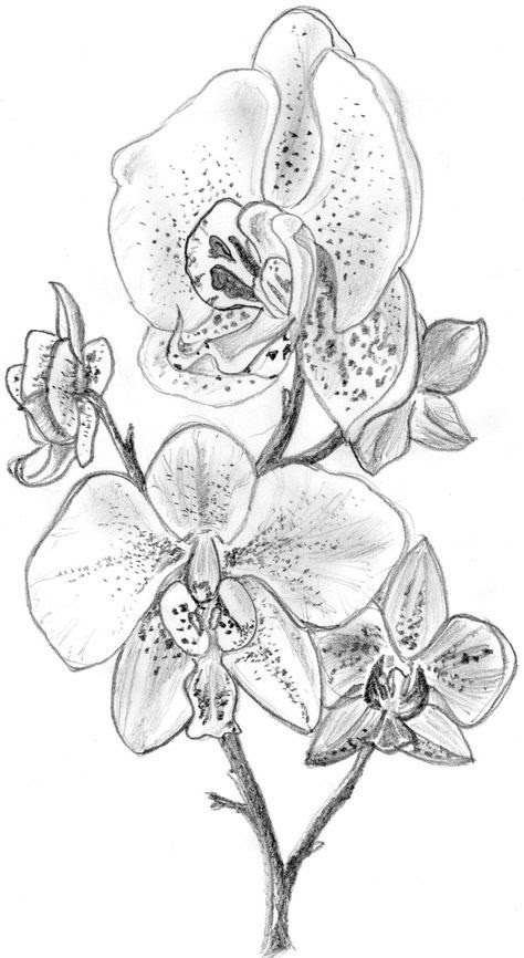 White Orchid Drawing At Getdrawingscom Free For Personal Use