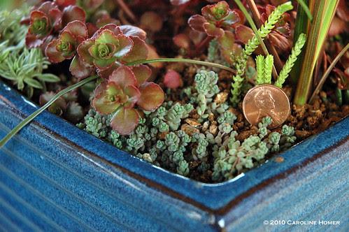 Sedum dasyphyllum & a penny