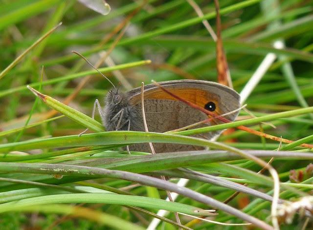 24571 - Meadow Brown, Isle of Mull