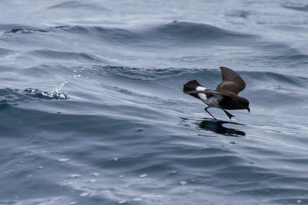 O New Zealand Storm Petrel (Fregetta maoriana) foi considerado extinto em 1850 e redescoberto por observadores de aves em 2003. Você pode observar esta espécie em saídas organizadas por diversos operadores turísticos no Gulf of Hauraki Marine Park, que usam restos de salmão moído para atrair as aves.