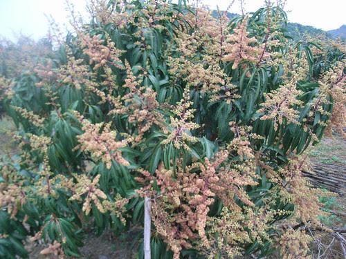 圖說:屏東枋山鄉的芒果花