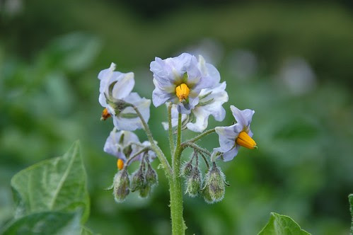 myatts ashleaf flowers