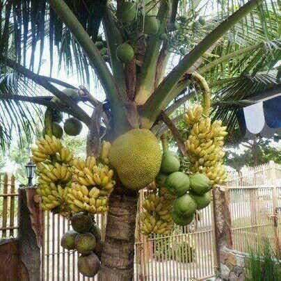 Nangka Berbuah Pisang, Rasa Durian