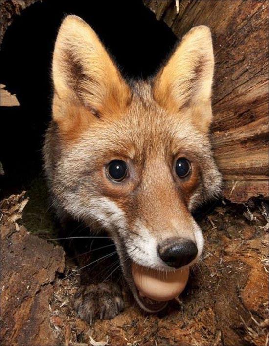 Πονηρή η αλεπού, αλλά πιο πονηρός ο φωτογράφος (3)
