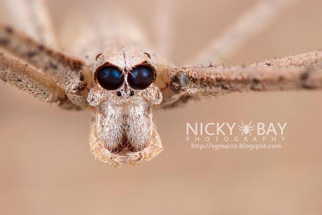 Net-casting Spider (Deinopis sp.) - DSC_4189