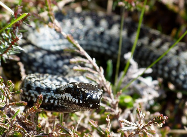 26990 - Adder, Isle of Mull