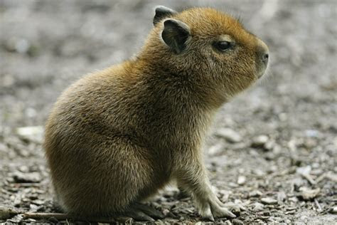 Capybaras are invading the Olympic golf course in Rio   For The Win