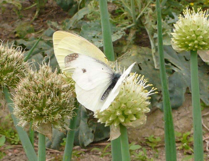 蔥花與蝴蝶