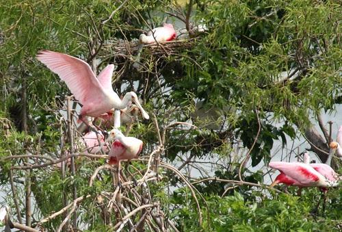Roseate Spoonbills nesting - 4/16/2010