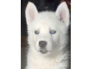wallpaper craft - Best White Siberian Husky With Blue Eyes