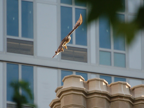 Red-Tail Take-Off