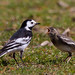 Pied Wagtail (Motacilla alba yarrellii) with young