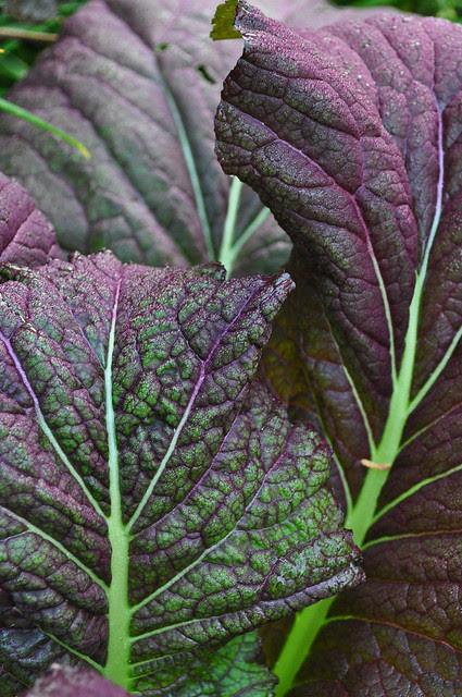 Brassica juncea var. rugosa