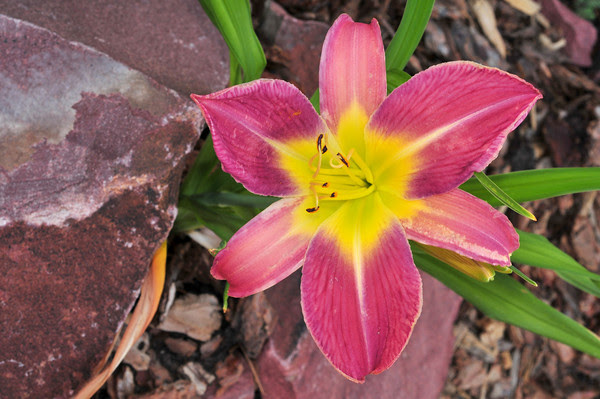 daylily