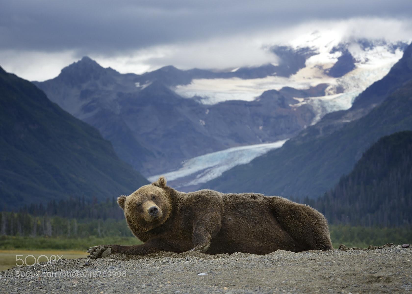 miss alaska grizzly bear brown mother olav thokle mountains