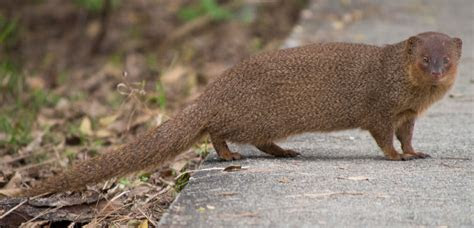 File:Small asian mongoose   Wikimedia Commons