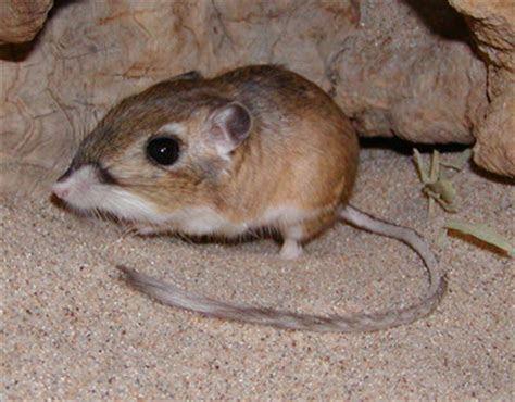 Kangaroo rats  Funny Animal