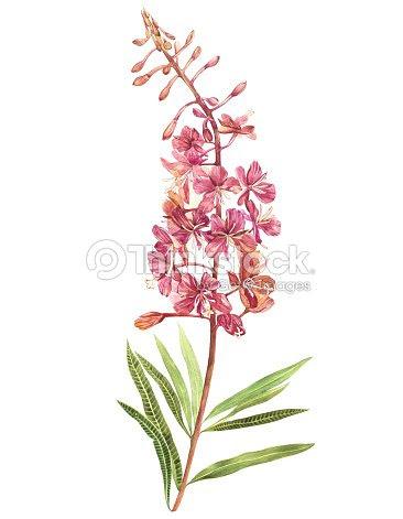 柳 Nerb の水彩画のイラスト花と花のカードです植物のイラスト ストック
